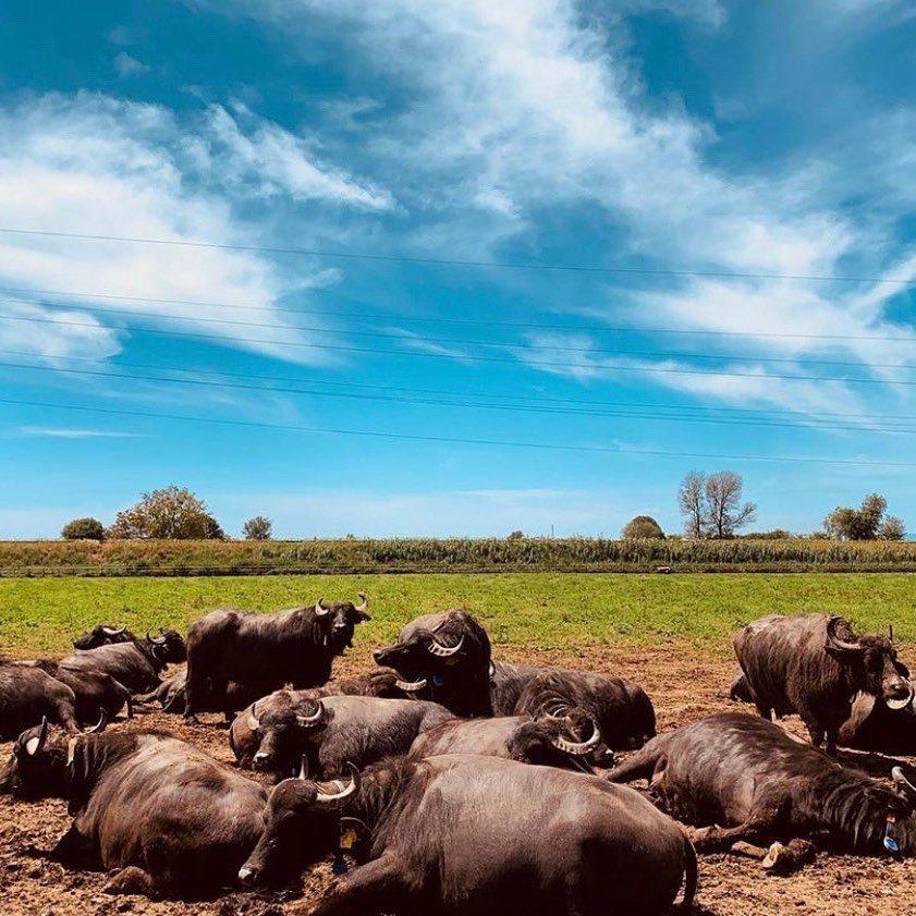 bufale tenuta vannulo