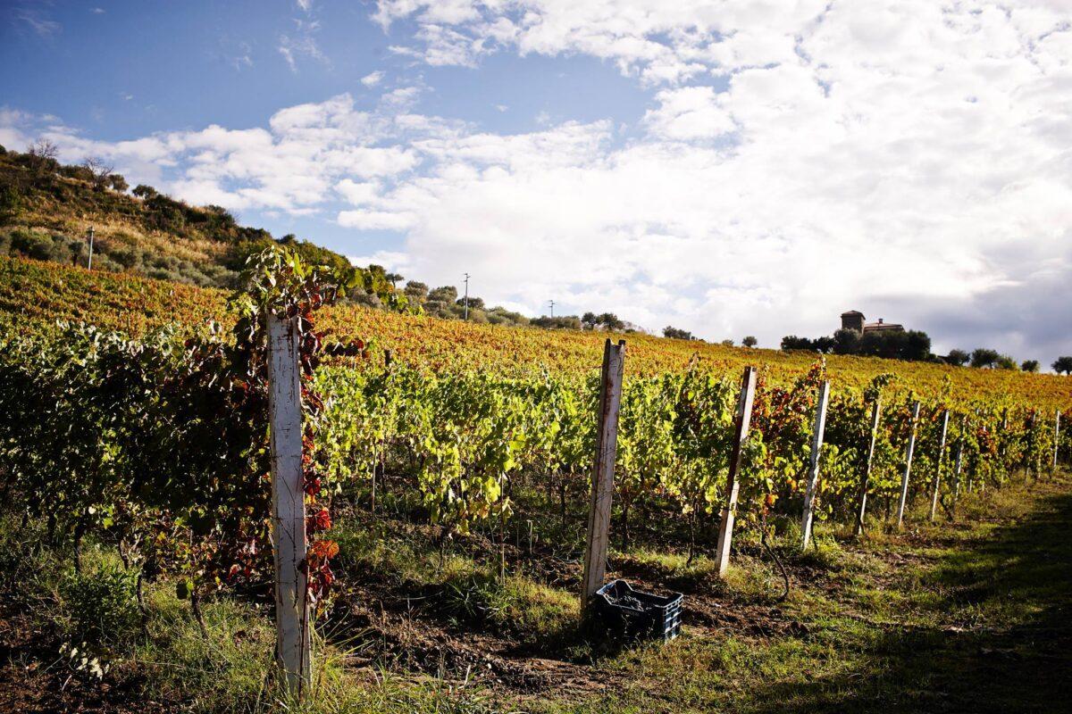 viticoltori de conciliis cilento